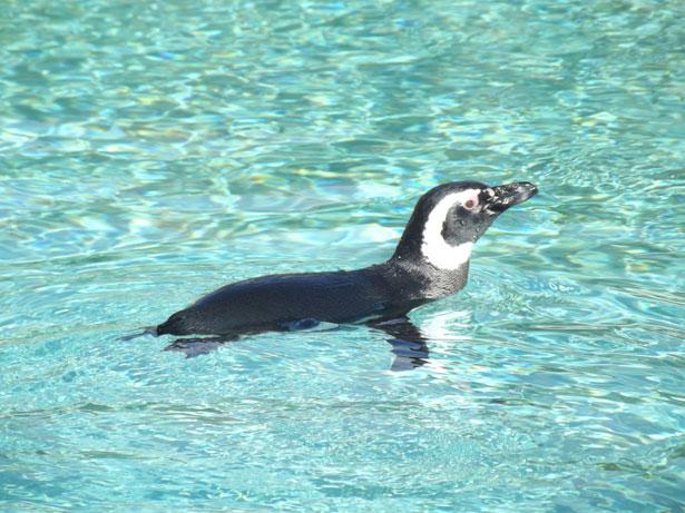 Magellanic penguins swimming